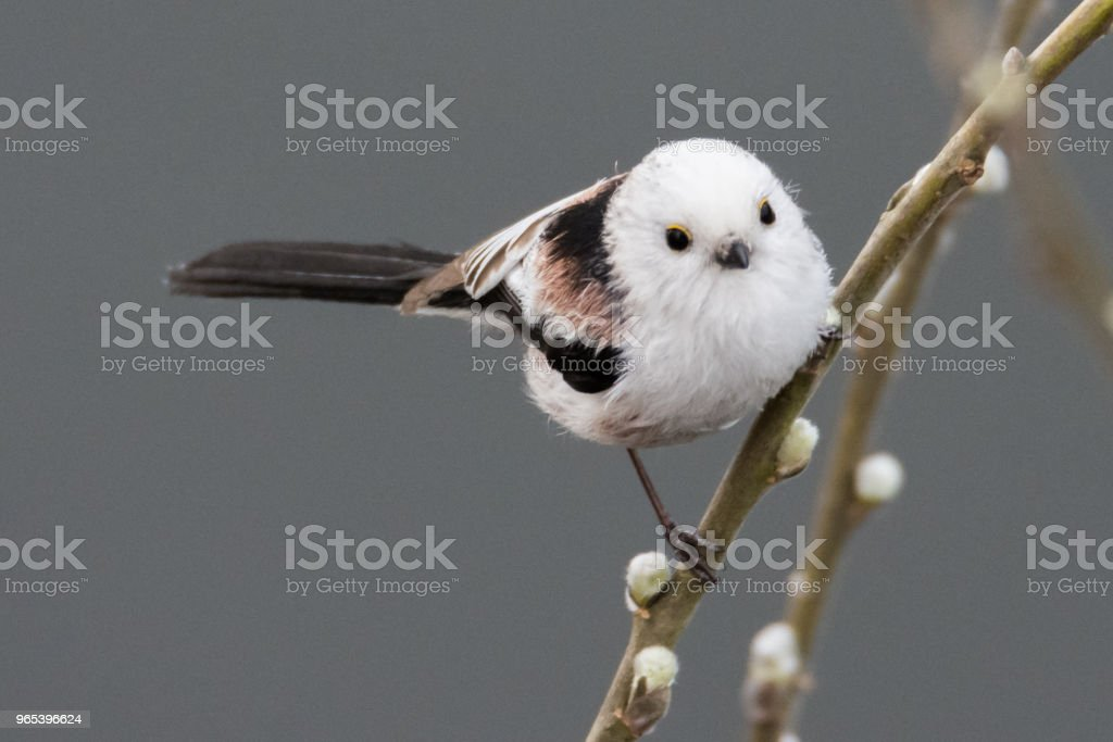 long-tailed tit Aegithalos caudatus royalty-free stock photo