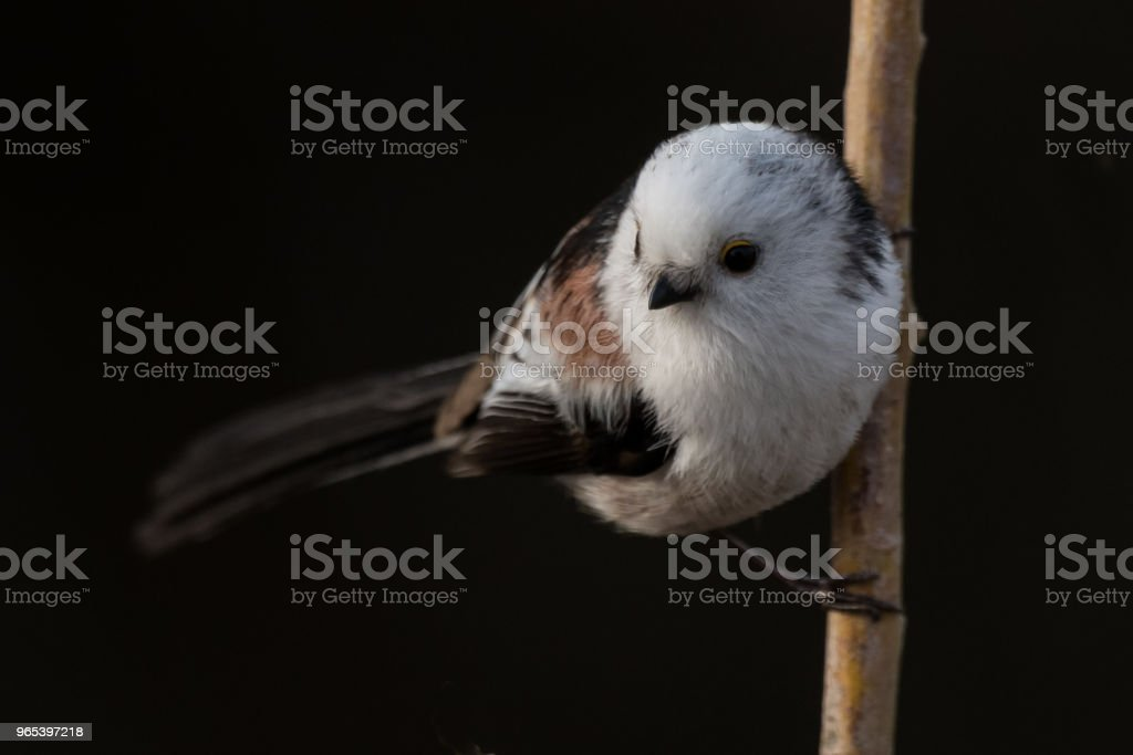 long-tailed tit Aegithalos caudatus zbiór zdjęć royalty-free