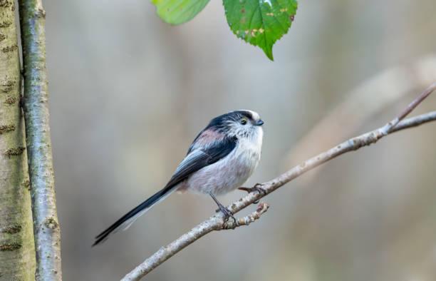 긴 꼬리 tit.  작은, 매력적인 정원 이나 숲 새의 가까이, 나뭇 가지에 자리 잡고 오른쪽을 향하고.  흐린 배경. - 오목눈이 뉴스 사진 이미지