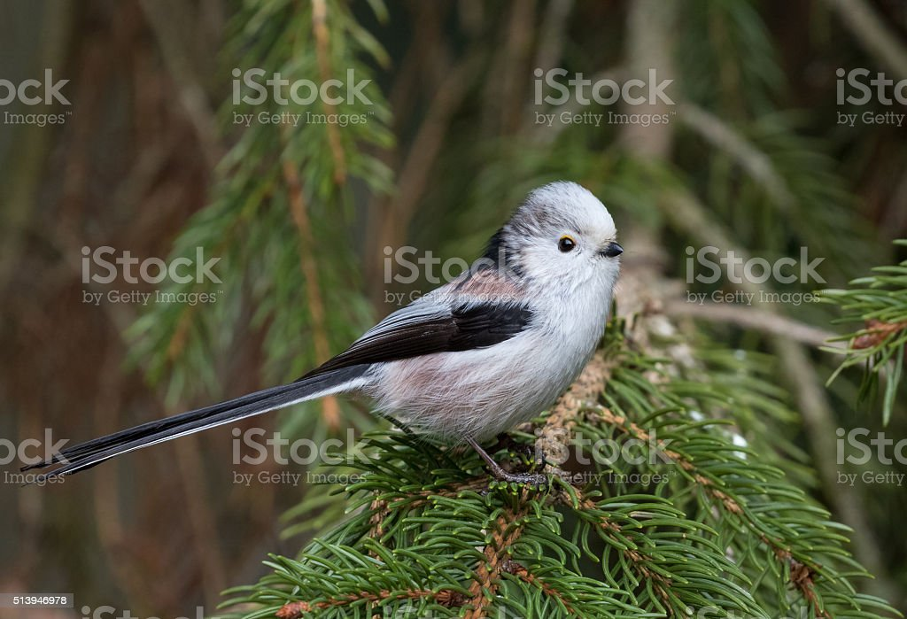 Long-tailed tit or long-tailed bushtit (Aegithalos caudatus) stock photo