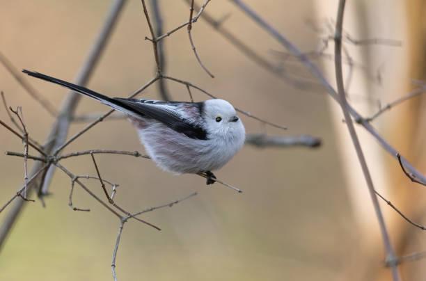 나뭇가지에 perching 긴 꼬리 가슴 - 오목눈이 뉴스 사진 이미지
