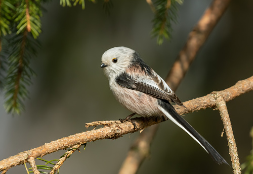 Long-tailed tit (Aegithalos caudatus) perching on a spruce.