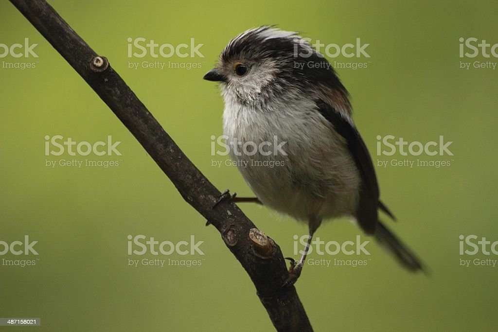 Long-tailed Tit stock photo