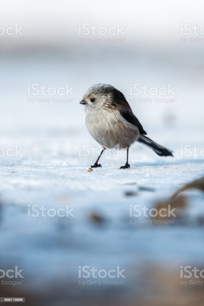 Long-tailed Tit (Aegithalos caudatus) stock photo