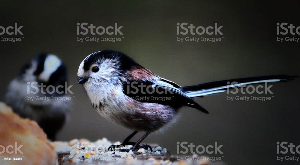 Long-Tailed Tit #2 royalty-free stock photo