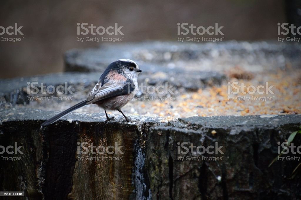 Long-Tailed Tit #1 royalty-free stock photo