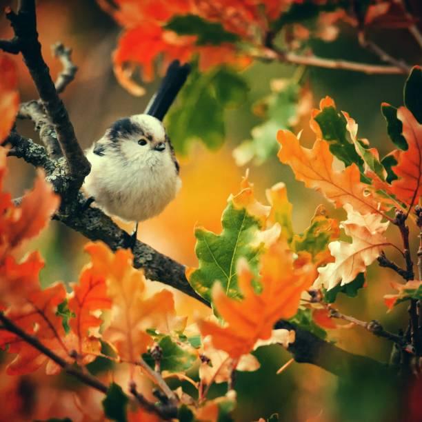staartmees (aegithalos caudatus) zit in de herfst bladeren - vogel herfst stockfoto's en -beelden