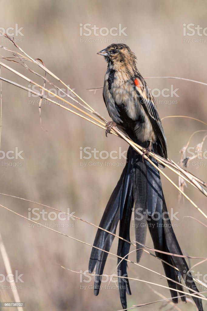 Long-tailed widowbird on dry grass - Стоковые фото Африка роялти-фри