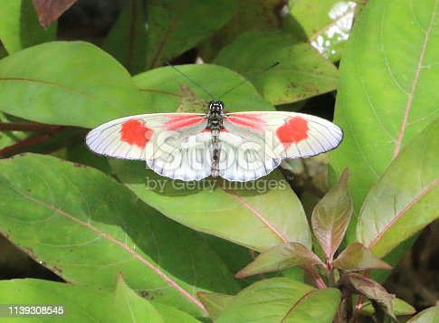 a type of longwing butterfly