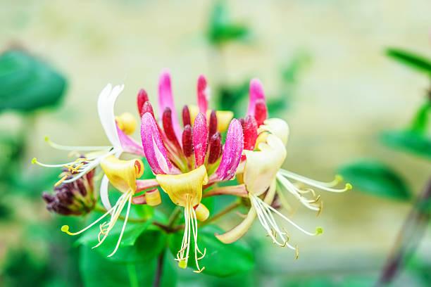 Lonicera caprifolium stock photo