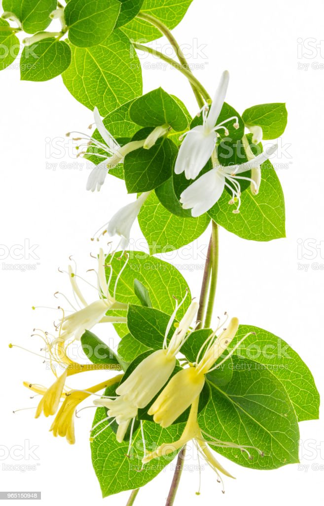 lonicera isolated flowers royalty-free stock photo