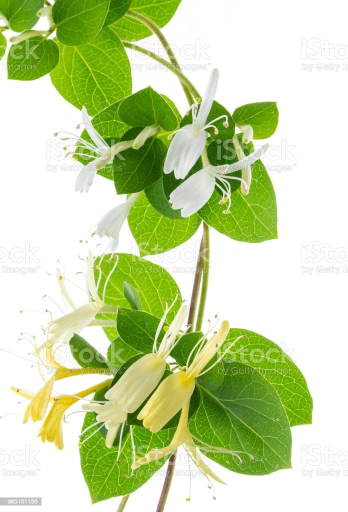 lonicera isolated flowers zbiór zdjęć royalty-free