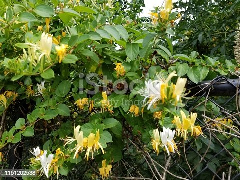 Close-up photograph of the Japanese Honeysuckle (Lonicera japonica) flowering plant, May 14, 2019