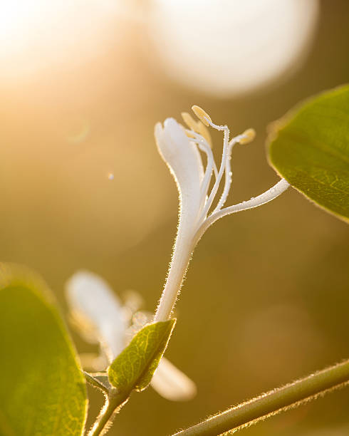 Lonicera japonica – Foto