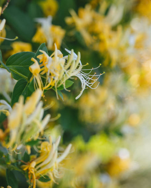 Lonicera japonica Thunb or Japanese honeysuckle yellow and white flower in garden. stock photo