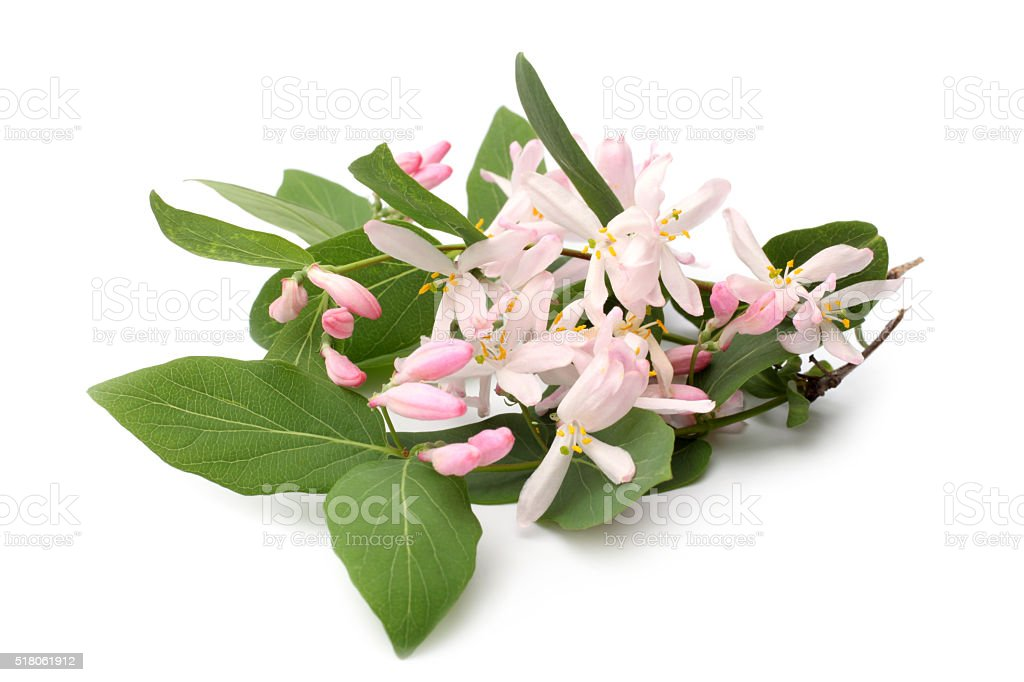 Lonicera tatarica branch with flowers stock photo
