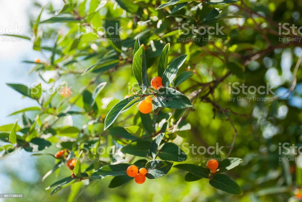 Lonicera tatarica (Tartarian honeysuckle) bush with orange berries stock photo