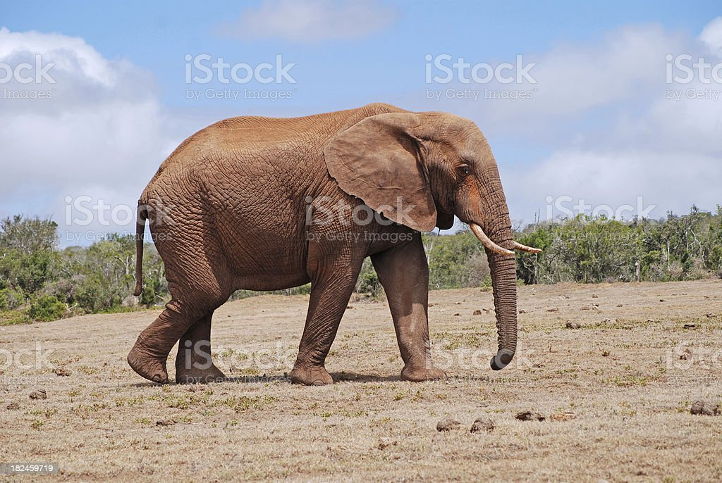lonley elephant stock photo
