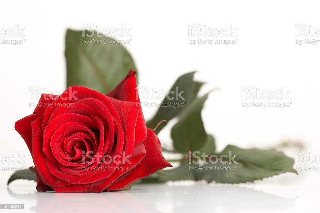 lonley red rose royalty-free stock photo