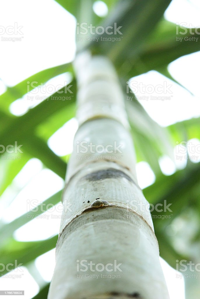 Lony sugar cane royalty-free stock photo