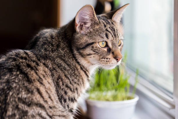 A look at a quiet 7 month old Mackerel Tabby cat relaxing. stock photo