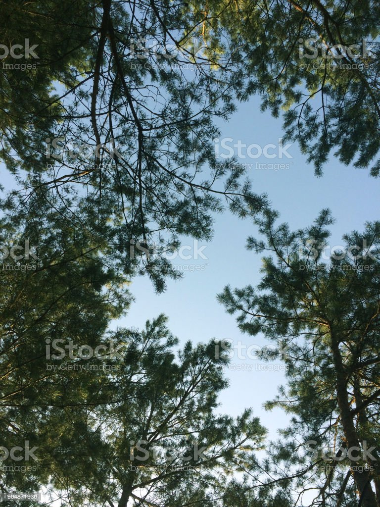 Look at the sky in a pine forest. Wild summer wood nature. royalty-free stock photo