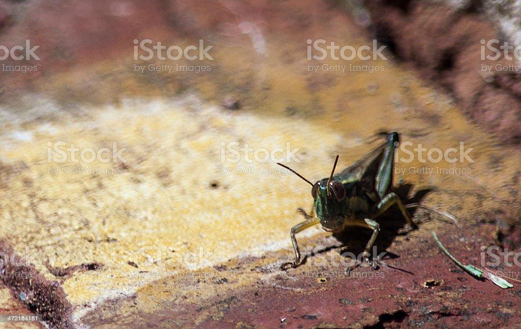 Look Locust royalty-free stock photo