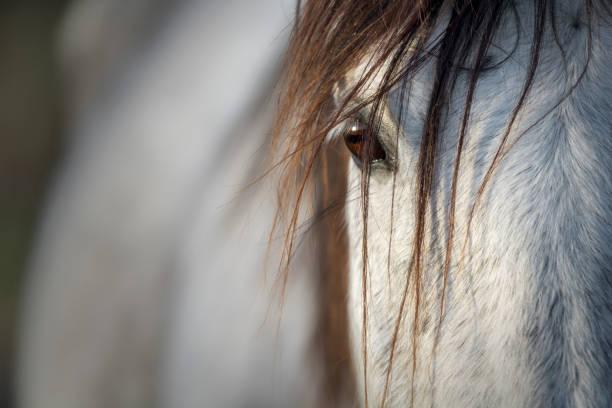 aussehen einer reinrassigen spanischen graue stute - andalusier pferd stock-fotos und bilder