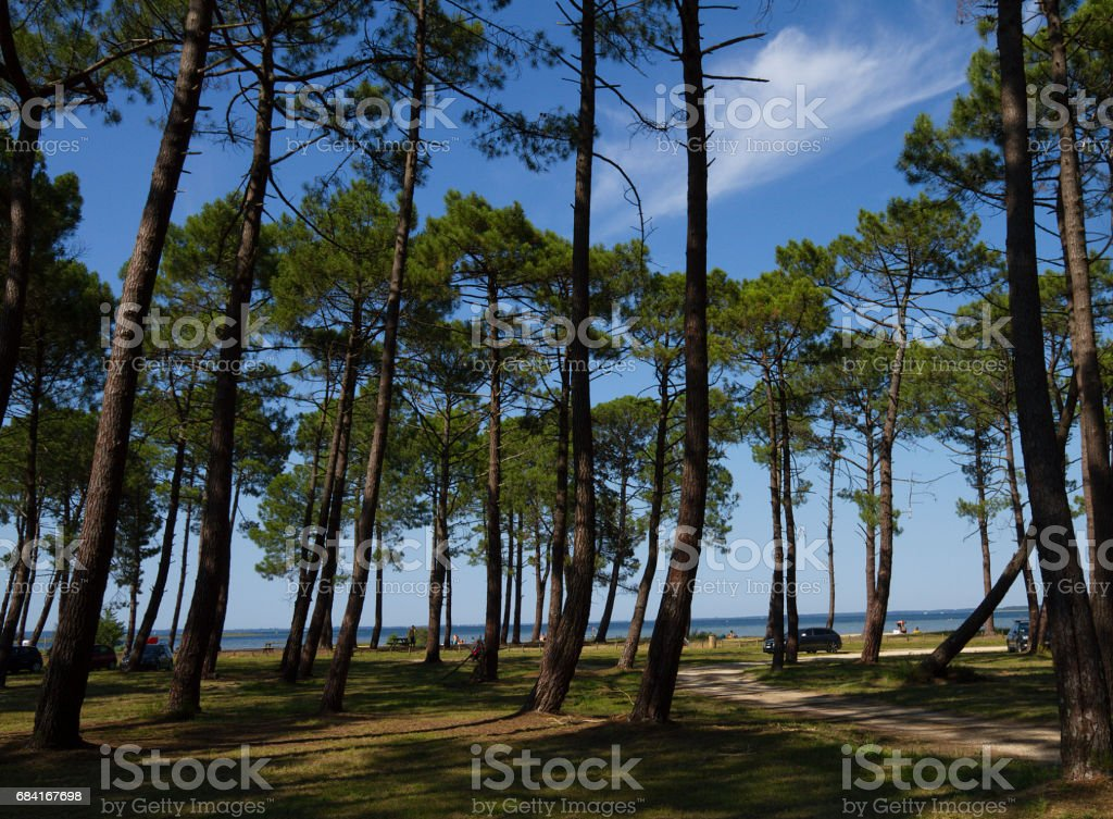 Look through the huge pines to the lake стоковое фото
