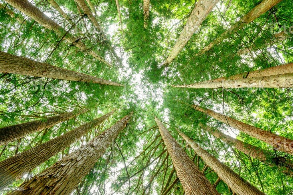 I look up at a cedar tree. stock photo