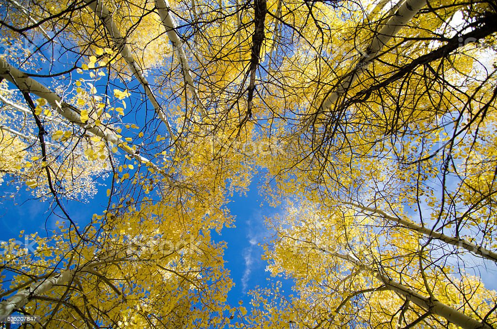 look up for aspen color stock photo