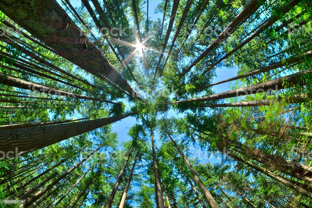 Look up in a dense pine forest foto de stock royalty-free