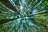 istock Look up in a dense pine forest 603903118