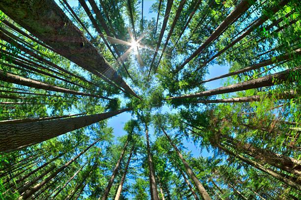 olhe para cima em uma densa floresta de pinheiros - alto descrição geral - fotografias e filmes do acervo