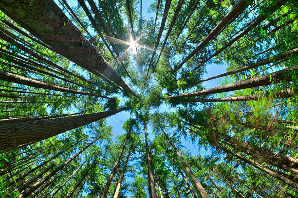 Look up in a dense pine forest Fisheye HDR view looking directly up in dense Canadian pine forest with sun glaring in clear blue sky as trees reach for the sky environment stock pictures, royalty-free photos & images