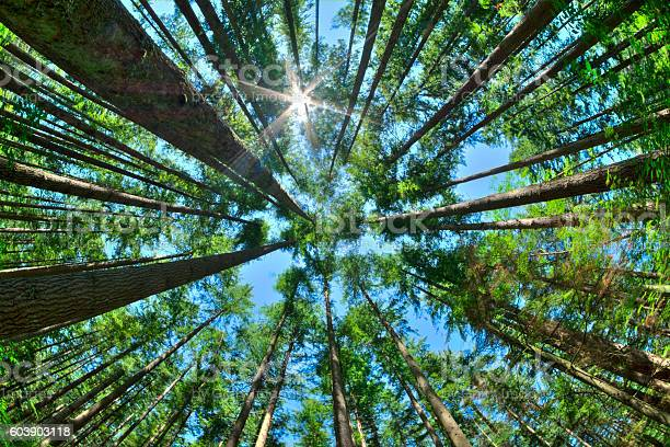 Photo of Look up in a dense pine forest