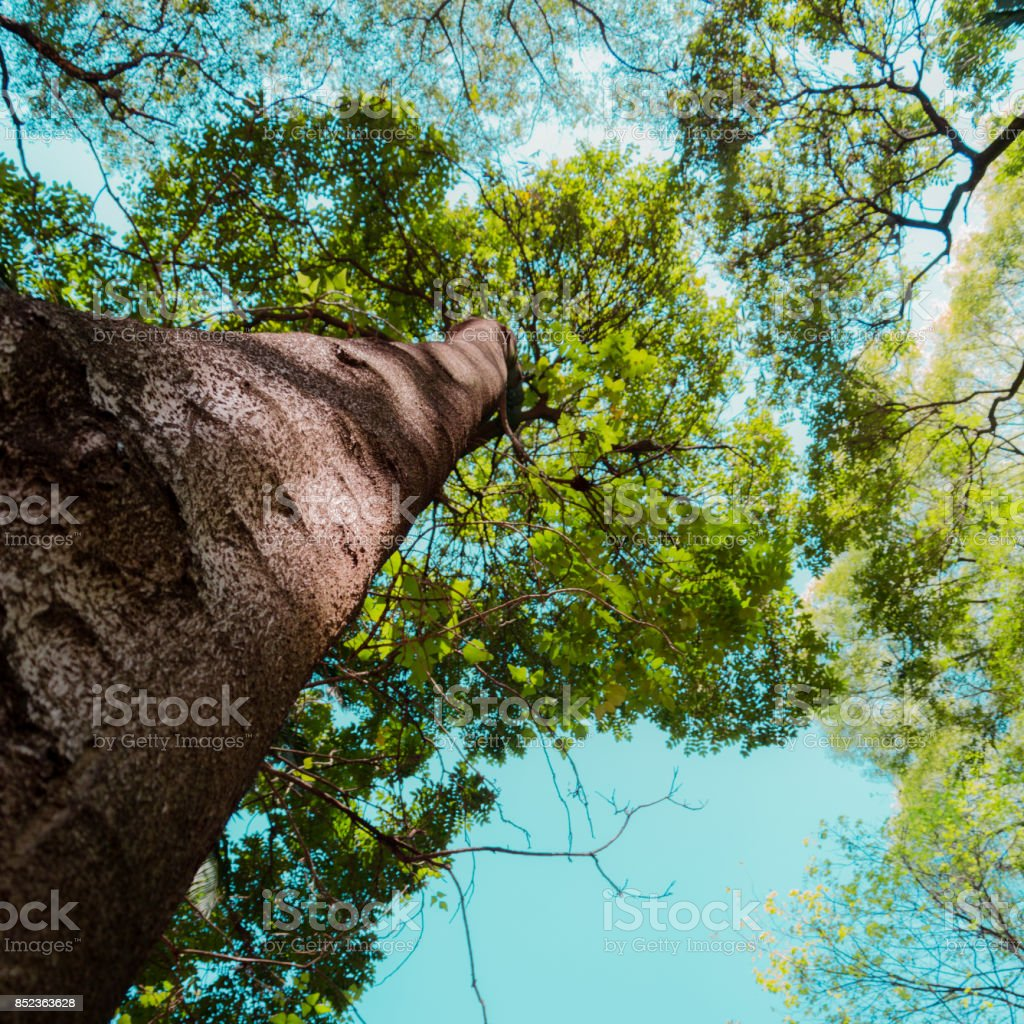 look up of a big tree stock photo