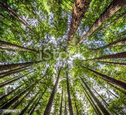 looking up at the height of the redwood trees