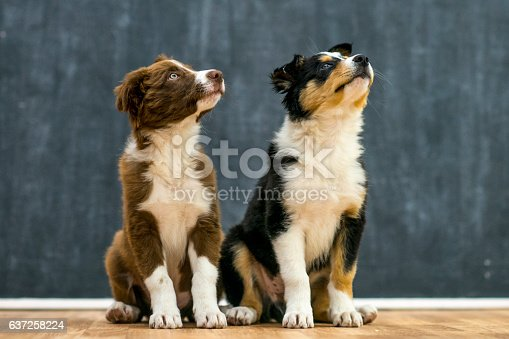 Two young border collie puppies sit on hardwood floor in front of a chalkboard and look and look up. These adorable brothers are sitting together.