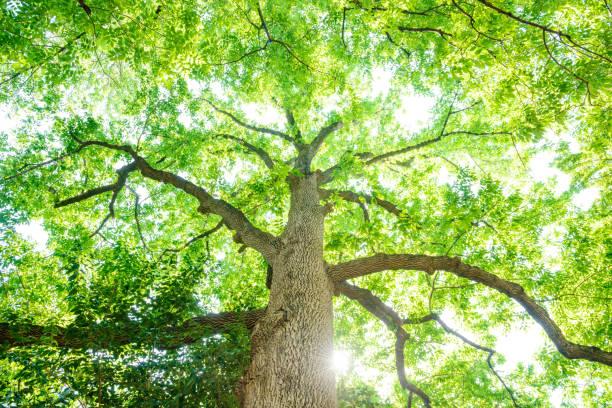 look up to a big tree - 介護 zdjęcia i obrazy z banku zdjęć