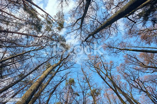 Look upwards to the blue sky with white clouds through the tall bare trees of a mixed forest at the end of winter. Seen in February in Bavaria, Germany