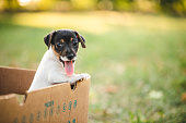 Puppy dog peeking out from the box, outdoor on meadow, sticking out tongue