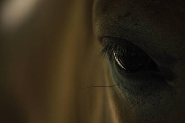 Closeup Shot Of A Wild Przewalskis Horse Eye Stock Photos