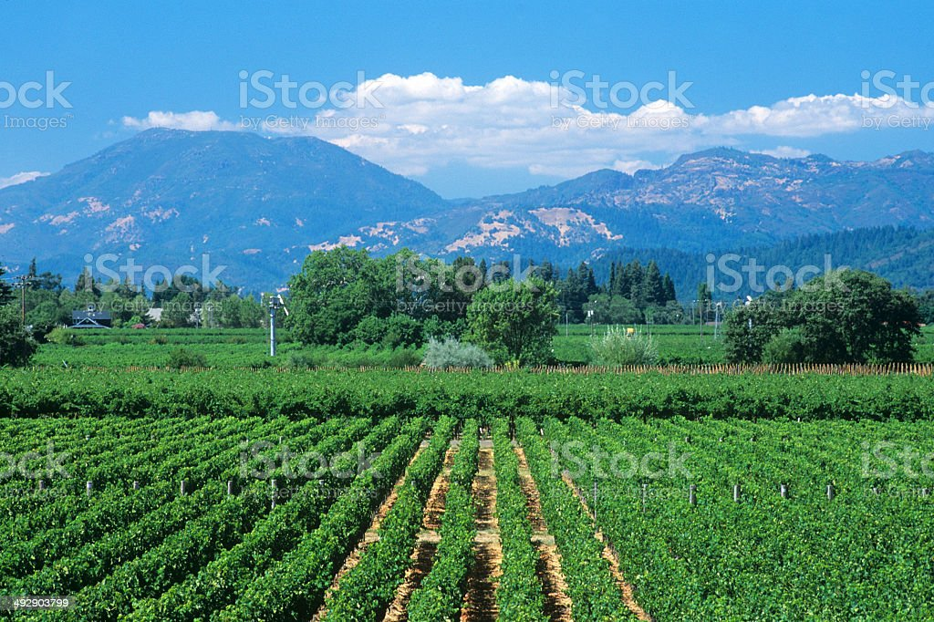 Looking Across a Vineyard Toward Calistoga stock photo
