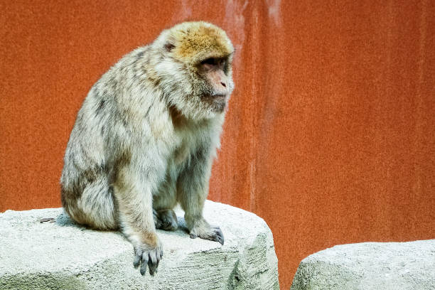 looking at a barbary macaque (or barbay ape or magot) - macaco foto e immagini stock