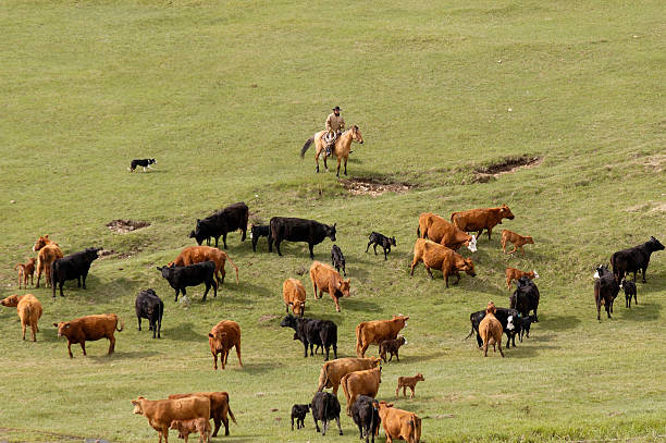 Looking at Cattle from Above stock photo