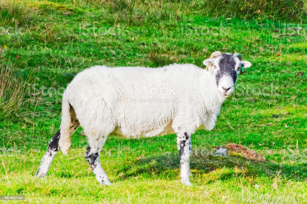 Looking at ewe stock photo