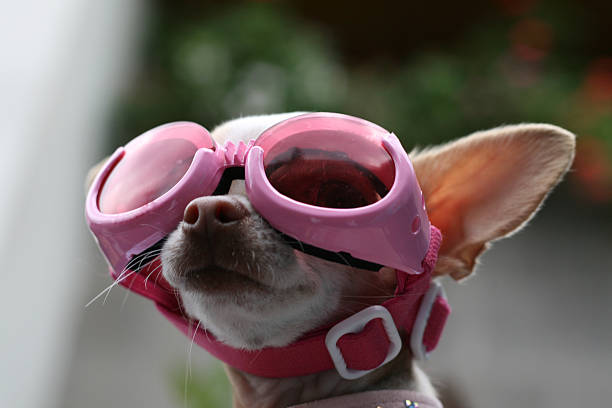 looking at heaven a little dog weareing a sunglasses looking up http://www.istockphoto.com/file_search.php?action=file&lightboxID=7755655]http://i28.photobucket.com/albums/c204/marianaalija/contemporary-2.jpg swimming goggles stock pictures, royalty-free photos & images