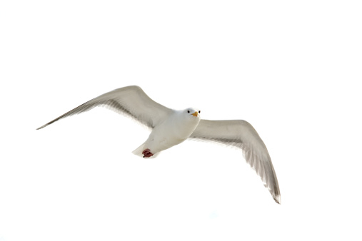 Flying seagull above the North Sea, picture taken from above, special point of view