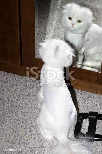 istock Looking at the mirror after the hairdresser. Scottish Fold LongHair Kitten. 1304050474